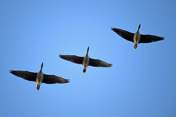 雁「Pink-Footed Geese Flock To Montrose Basin」:写真・画像(0)[壁紙.com]