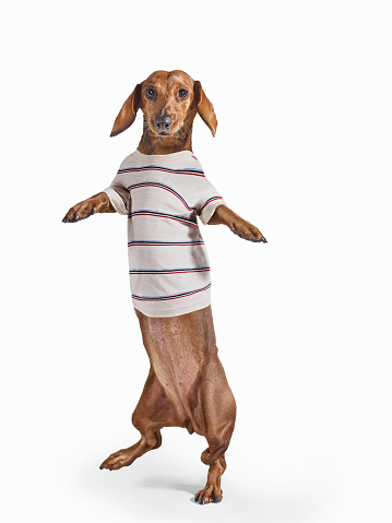 Casual Clothing「Standing Dashchund Dog Wearing Striped T-Shirt On White Background」:スマホ壁紙(5)