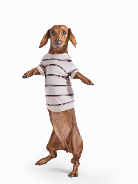 Standing Dashchund Dog Wearing Striped T-Shirt On White Background:スマホ壁紙(壁紙.com)