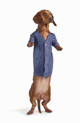 Sweater「Standing Dashchund Dog Wearing Blue Cardigan On White Background」:スマホ壁紙(6)