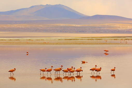 Bolivian Andes「Andean Flamingos birds in line and Impressive Laguna colorada - Red lake reflection, Idyllic Altiplano Atacama Desert, Volcanic landscape panorama – Potosi region, Bolivian Andes, Bolívia」:スマホ壁紙(9)