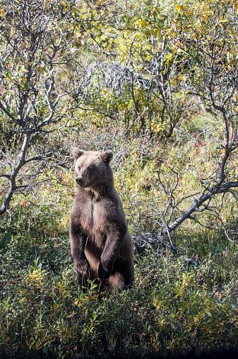 Furious「Young Grizzly Bear, Denali National Park Alaska」:スマホ壁紙(7)