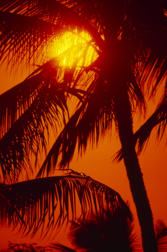 Frond「Sunball shining through palm fronds in red sunset sky.」:スマホ壁紙(4)