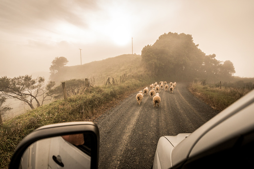 New Zealand「Sheep on the country road, as the evening sun is refracted through mist」:スマホ壁紙(6)