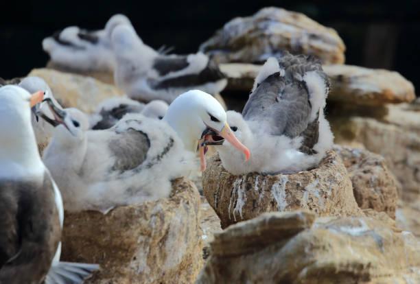 Albatrosses feeding young chicks,  New Island, Falkland Islands.:スマホ壁紙(壁紙.com)