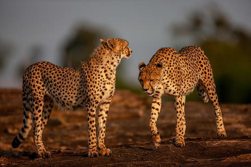 African Cheetah「The close-up view of two adult cheetahs (Acinonyx jubatus) on a rock at plain」:スマホ壁紙(19)