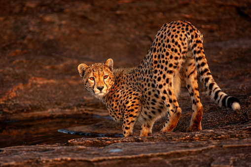 African Cheetah「The close-up view of an adult cheetah (Acinonyx jubatus) standing on a rock at plain」:スマホ壁紙(10)