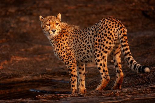 African Cheetah「The close-up view of an adult cheetah (Acinonyx jubatus) standing on a rock at plain」:スマホ壁紙(1)