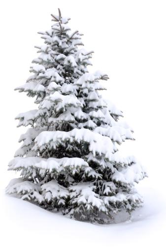 マツ科「パインツリーの雪」:スマホ壁紙(18)