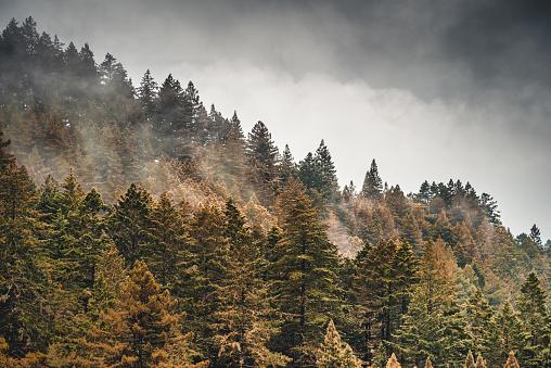 Pacific Northwest「pine tree in the fog in oregon」:スマホ壁紙(9)