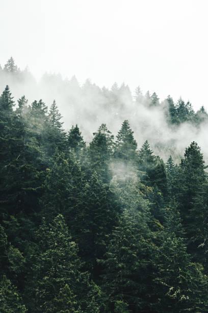 pine tree in the fog in oregon:スマホ壁紙(壁紙.com)