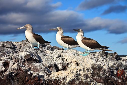 ガラパゴス諸島「ガラパゴス諸島:左足用 Boobies 3 つの青色」:スマホ壁紙(13)