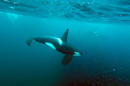 ノルウェー「Two killer whales feeding on a school of herrings」:スマホ壁紙(7)