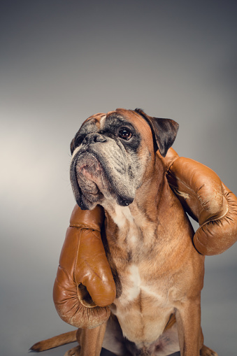 Competitive Sport「Boxer dog holding an old boxing gloves.」:スマホ壁紙(11)
