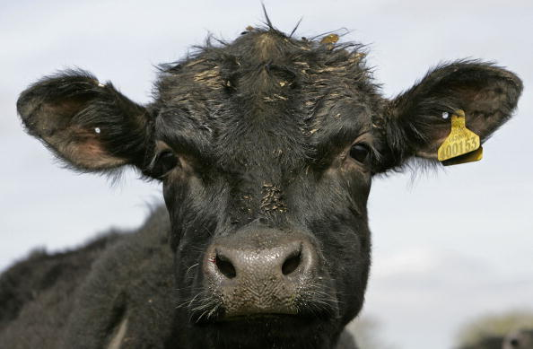 Bull - Animal「Ban On British Beef Exports Is Lifted After A Decade」:写真・画像(17)[壁紙.com]