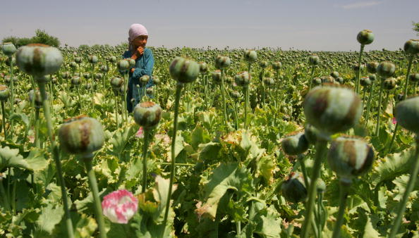 Kabul「Afghanistan Farmers Harvest Healthy Crop Of Poppies」:写真・画像(4)[壁紙.com]