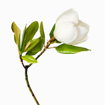 繊細「Magnolia flower and leaves on white background, close-up」:スマホ壁紙(9)
