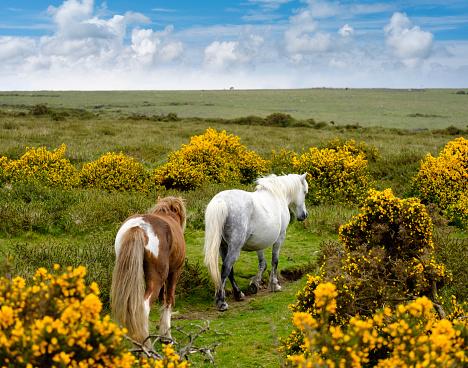 Horse「UK, Devon, two Dartmoor ponies at Dartmoor National Park」:スマホ壁紙(2)