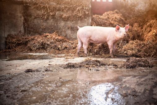 Pigpen「Little Piglet in big stable」:スマホ壁紙(17)
