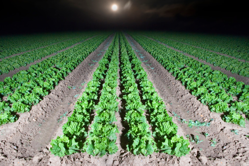 West Sussex「Lettuce crop at night with full moon」:スマホ壁紙(16)