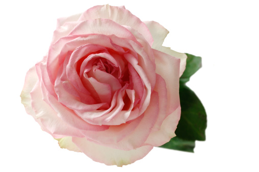 薔薇「Pink rose (Rosa) on white background」:スマホ壁紙(16)