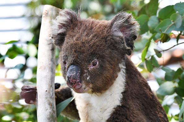 Koala「Labour Leader Anthony Albanese Visits Adelaide Koala Rescue」:写真・画像(2)[壁紙.com]