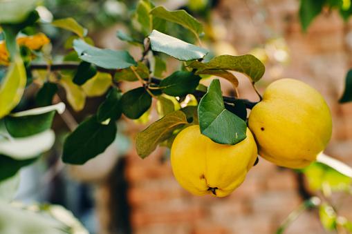 Quince「Ripe quinces at tree, close-up」:スマホ壁紙(4)
