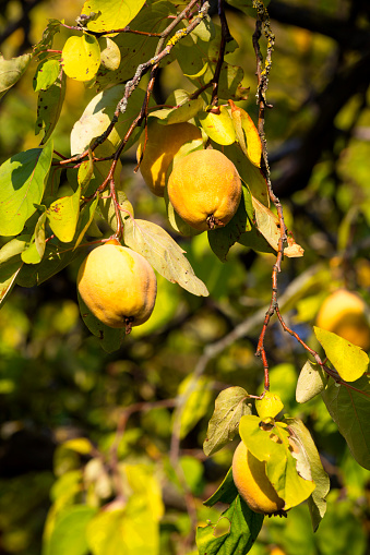 カリン「Ripe quinces at tree in autumn」:スマホ壁紙(18)
