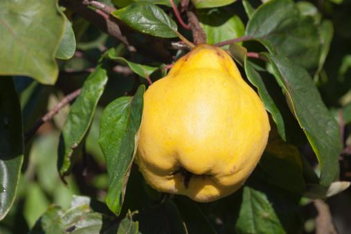"""カリン「A ripe quince on the tree - variety """"Vranja""""」:スマホ壁紙(4)"""