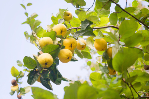 マルメロ「完熟 Quinces の木」:スマホ壁紙(1)