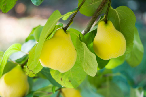 Quince「Ripe Quinces on the Tree」:スマホ壁紙(9)