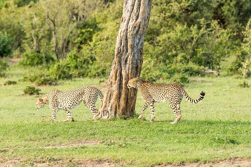 African Cheetah「Cheetahs Hunting / preying」:スマホ壁紙(12)