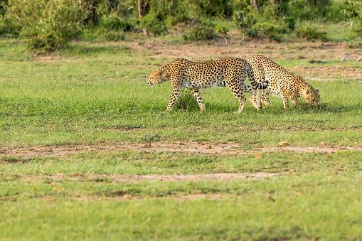 African Cheetah「Cheetahs Hunting / preying」:スマホ壁紙(13)