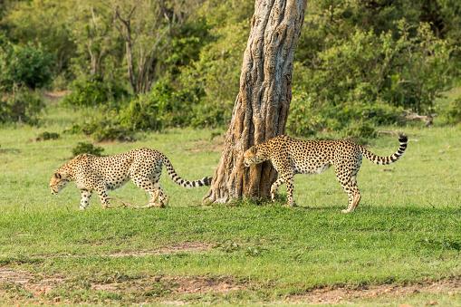 African Cheetah「Cheetahs Hunting / preying」:スマホ壁紙(0)