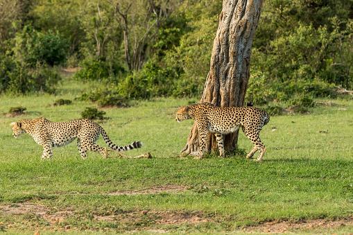 African Cheetah「Cheetahs Hunting / preying」:スマホ壁紙(7)