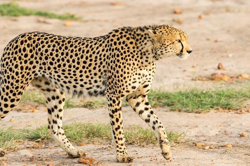 African Cheetah「Cheetahs Hunting / preying」:スマホ壁紙(15)