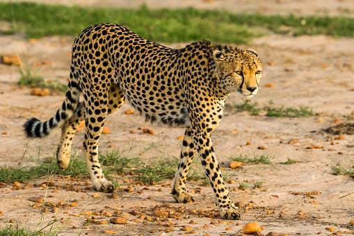 African Cheetah「Cheetahs Hunting / preying」:スマホ壁紙(9)