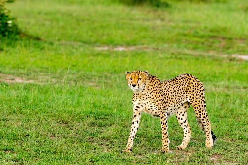 African Cheetah「Cheetahs Hunting」:スマホ壁紙(12)