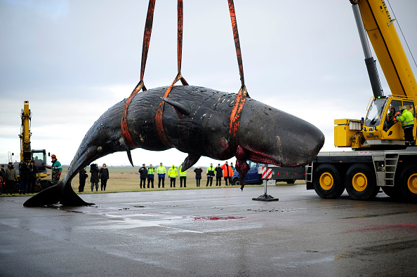 Aquatic Mammal「More Dead Sperm Whales Washing Up On German Shores」:写真・画像(13)[壁紙.com]