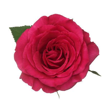 Hot Pink「Entire fragrant dark pink rose from above, on white.」:スマホ壁紙(11)