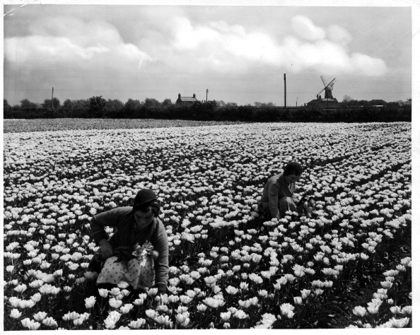 Netherlands「Holland Tulips」:写真・画像(7)[壁紙.com]