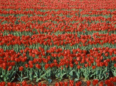 Keukenhof Gardens「Tulip field in Keukenhof Garden, Netherlands」:スマホ壁紙(8)