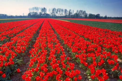 Netherlands「Tulip field, Holland」:スマホ壁紙(5)