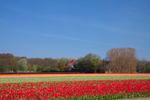 Keukenhof Gardens「Tulip Field」:スマホ壁紙(13)