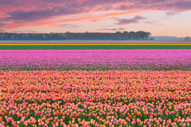 オランダの田舎、南ホラント州、オランダのチューリップ畑:スマホ壁紙(壁紙.com)