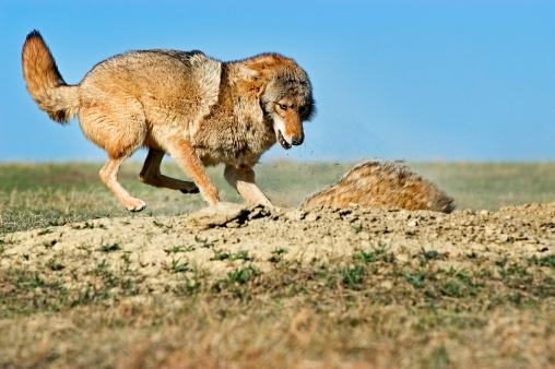 Animals Hunting「Coyote attacking badger」:スマホ壁紙(1)