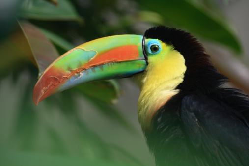 Amazon Rainforest「colorful toucan」:スマホ壁紙(1)