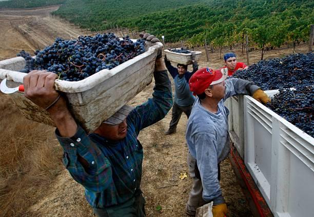 Napa Vineyard Harvests Its Grapes:ニュース(壁紙.com)