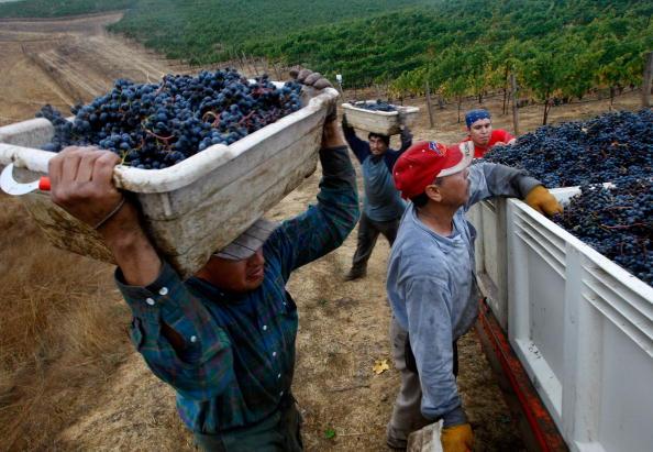 Occupation「Napa Vineyard Harvests Its Grapes」:写真・画像(3)[壁紙.com]