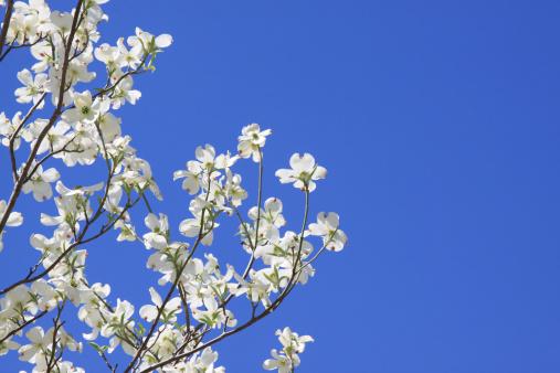 Dogwood「Dogwood Blossoms Against Blue Sky With Copy Space」:スマホ壁紙(10)